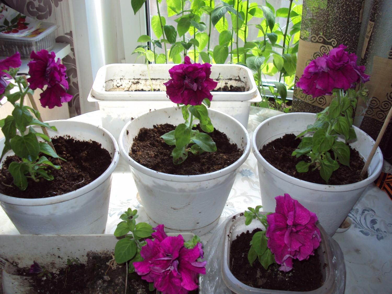 Выращивание петуний без ошибок от а до я 466